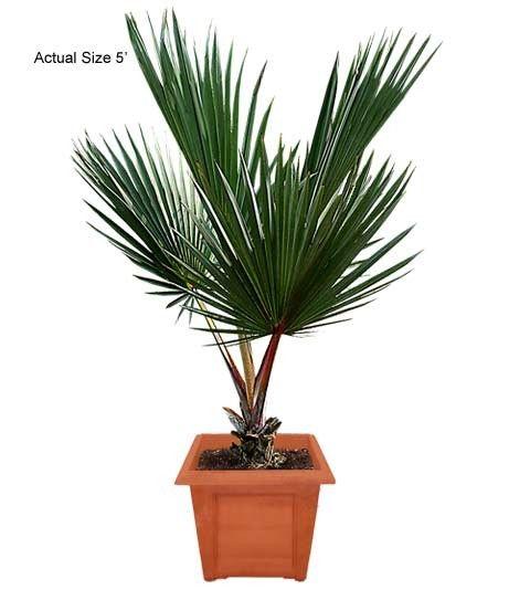 Medium Red Latan Palm Tree - Latania lontaroides Web Buy Palm Trees and Plants - Buy Plants Online at RealPalmTrees.com RealBonsaiTrees.com or RealOrnamentals.com #PalmTreeGifts #DIY2015 #BonsaiTrees #MiamiBonsai #big #2015PlantIdeas #Summer2015Plants #Ideas #BeautifulPlant #DIYPlants #OutdoorLiving #decoratingareasideas
