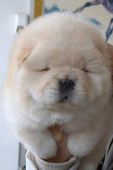 Chow-Chow puppy.... I don't like chow-chows but this guy is cute I guess