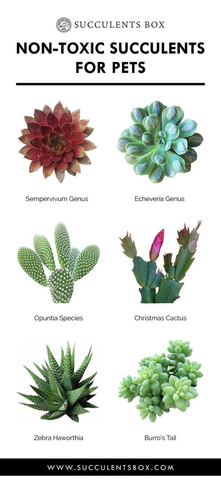 Toxic and Non-Toxic Succulents for Pets | Succulent varieties ...