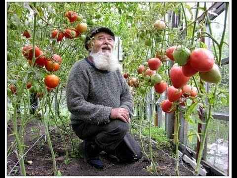 Выращивание помидоров в открытом грунте. Необходимые условия для выращивания томатов в открытом грунте. Когда высаживают помидоры в открытый грунт Сроки выса...