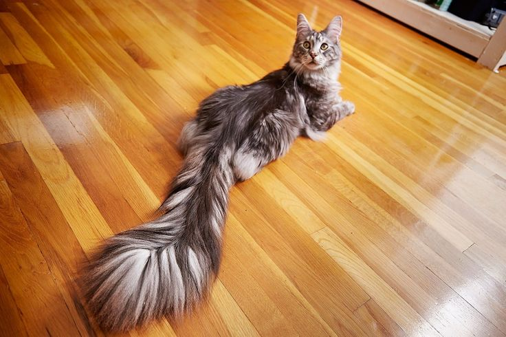 Meet The Domestic Cat With The Longest Tail In The World  On Thursday, Guinness World Records released the 63rd edition of its famous book of feats and firsts. Among the new honorees is Cygnus who is officially the domestic cat with the longest tail, carrying around a feather duster-like appendage that measures 17.58  inches. Cygnus lives with two other cats, Arcturus and Sirius, an F2 Savannah and a Marble bengal, and his dad says they love each other.