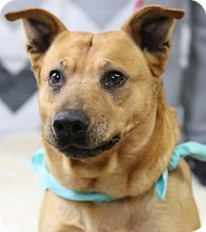 Weatherford, TX - Blue Heeler Mix. Meet Mama, a dog for adoption. http://www.adoptapet.com/pet/17749701-weatherford-texas-blue-heeler-mix