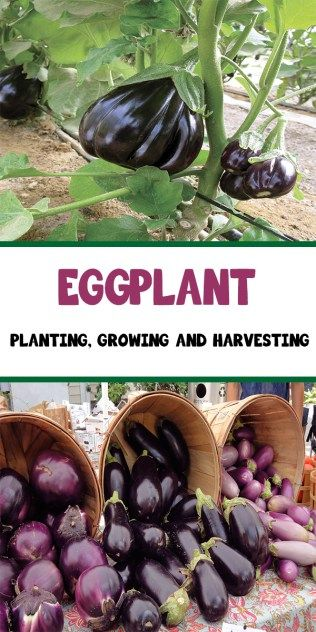 Eggplant – Planting, Growing and Harvesting