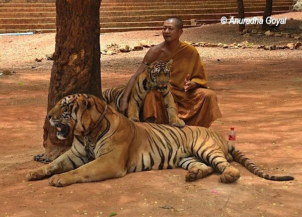 Buddhist monk with Tigers at Tiger Temple, Thailand