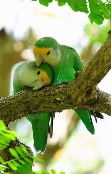 two beautiful green parakeets