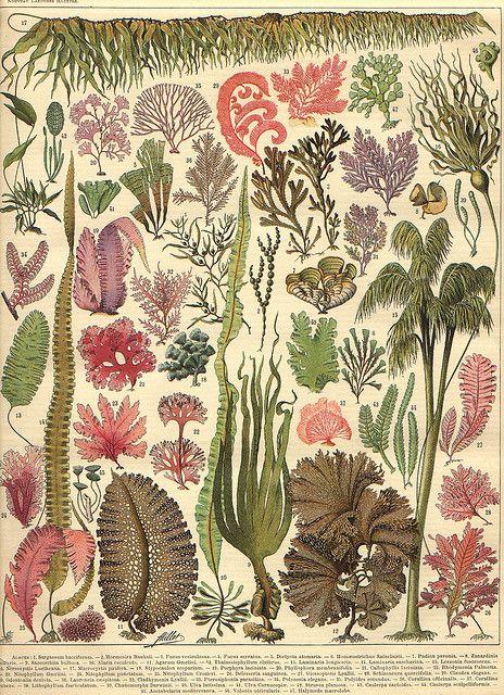 [][][] Adolphe Millot, Algae