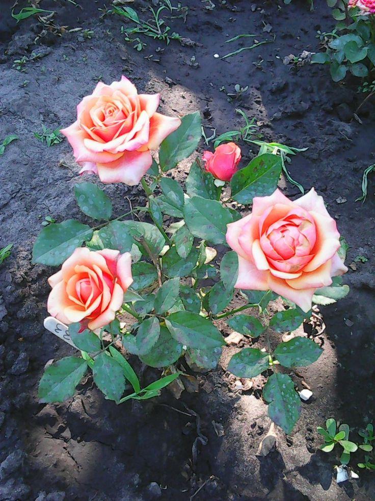 Хорошая зимовка растений – залог прекрасного сада в будущем сезоне. Роза больше всех нуждается в комфортных условиях зимнего сна. Рассказываем, как укрыть розовые кусты правильно.  Как приготовить ро…