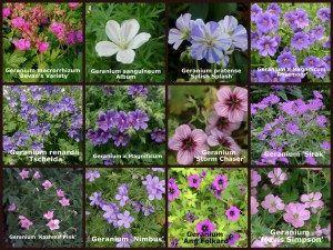 Varieties if Hardy-Geranium-Collection