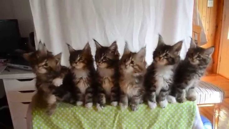 Seven Maine Coon Kittens Perform Synchronized Head Bobbing Routine In Visual Pursuit of Feather Toy