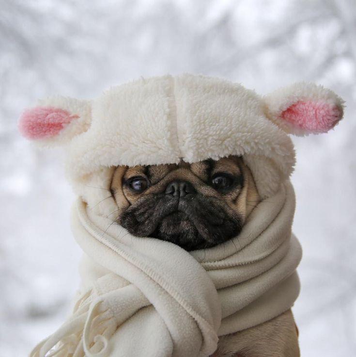Тебя, картинка мопсы зимой