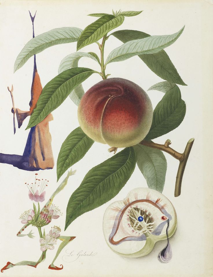 Salvador Dali's Peach (1969)  --  1 of 10 water colours he painted based on old botanical prints.