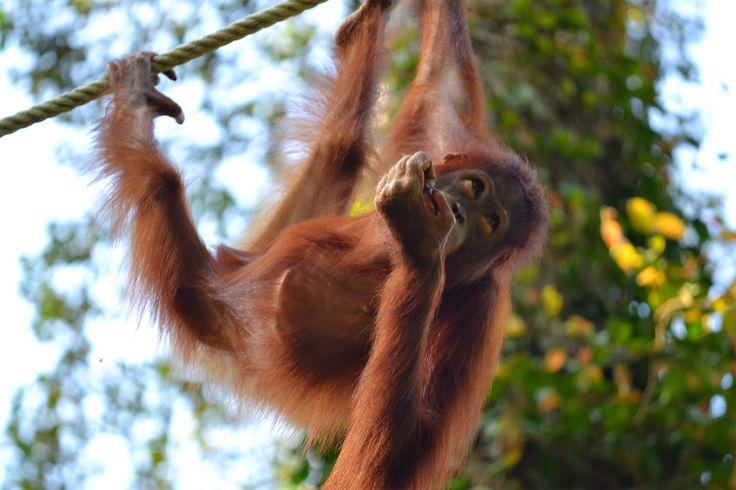 OTRO VIAJE EN LAS MOCHILAS: Visitando a los hombres de la selva en Sepilok, sa...