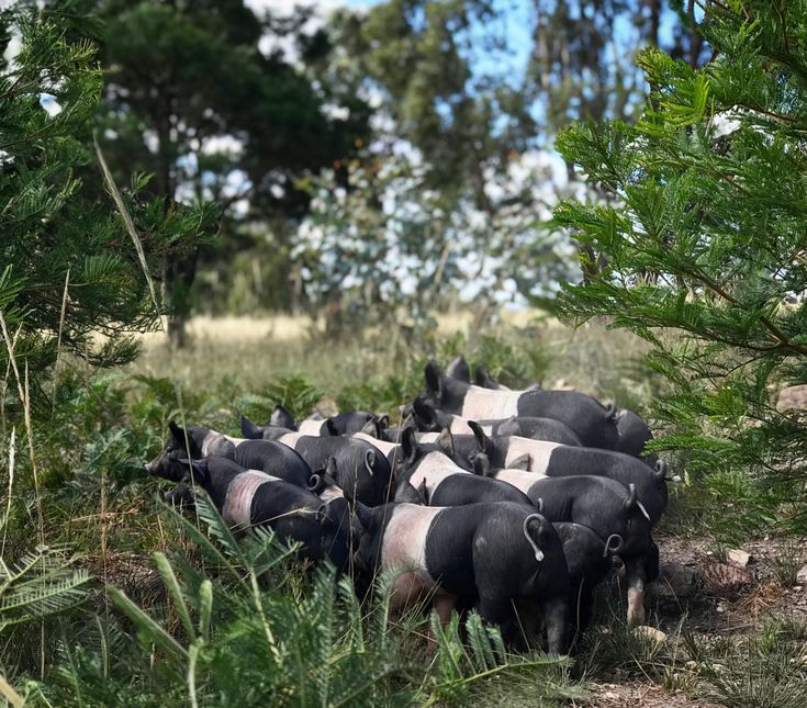 Hampshire piglets up to mischief