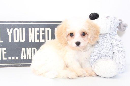 Cavachon puppy for sale in NAPLES, FL. ADN-46149 on PuppyFinder.com Gender: Male…   – Puppies for Sale