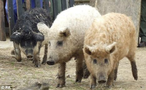 Woolly pigs-They are officially known as Mangalitzas and are native to Austria and Hungary, but do have a genetic link to the Lincolnshire curly coat, which roamed British fields until they went extinct in 1972 Read more: http://metro.co.uk/2010/04/20/woolly-sheep-pigs-arrive-at-essex-zoo-tropical-wings-251842/#ixzz3n0JvNFdp