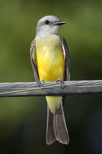 Tropical King Bird, breeds from southern Arizona & Texas through to Central America, S. America, Trinidad & Tobago