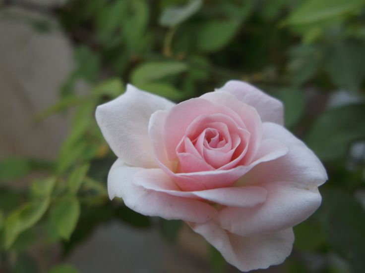 Friendship Is Breathing Rose With Sweets In Every Fold