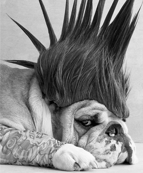 Punk rock bulldog. I cant even handle it!