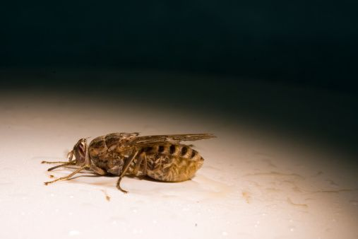 Tsetse Fly stock photo