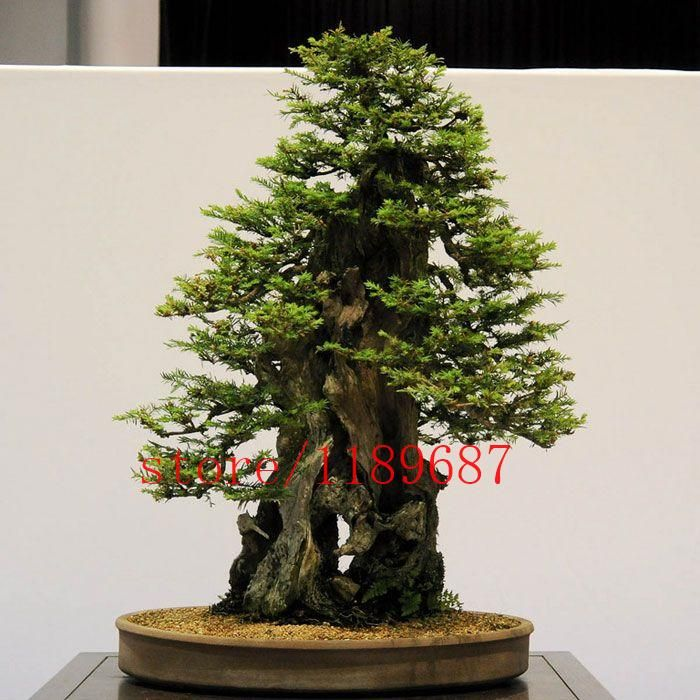 [Visit to Buy] 100pcs/bag Sequoia Coast Redwood Seeds,Sequoia Sempervirens Seeds, bonsai tree seeds potted for home & garden #Advertisement
