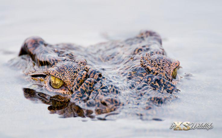 Nile Crocodile... Infested Waters ©inXSWildlife #inxswildlife #wildlifephotography #crocodile #krugernationalpark #wildlife #nature #sabieriver #glorytoGod