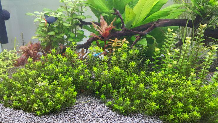 Hemianthus Micranthemoides, HM Pearl Grass, Live Aquarium Plants + FREE