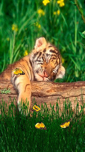 21 Best Images About Sauna And Steam Rooms On Pinterest: 21 Best Images About Animal~Tigers~GIF's On Pinterest