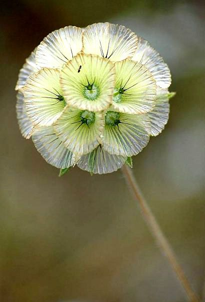 Star Scabiosa by Roger Bourne