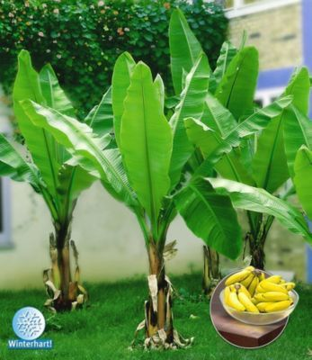 Winterharte Bananen