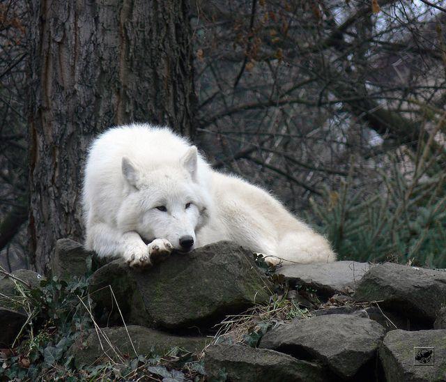 new moon : wolf rp, open : : Lioden