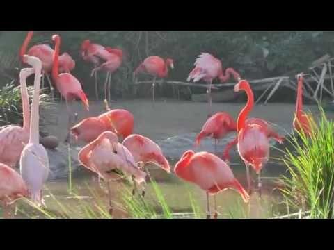 BIRDS     FLAMINGOS      SAN      DIEGO     ZOO