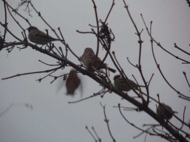 sparrow , verebek