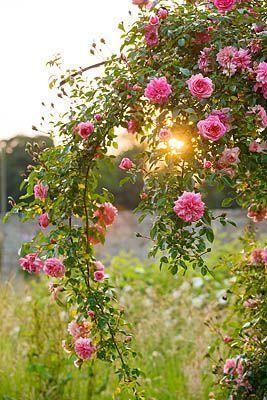 pretty pink rambling Rose