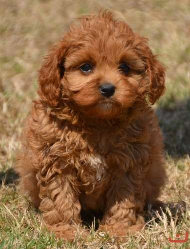 51 best Cavoodles images on Pinterest | Animals, Cavapoo ...