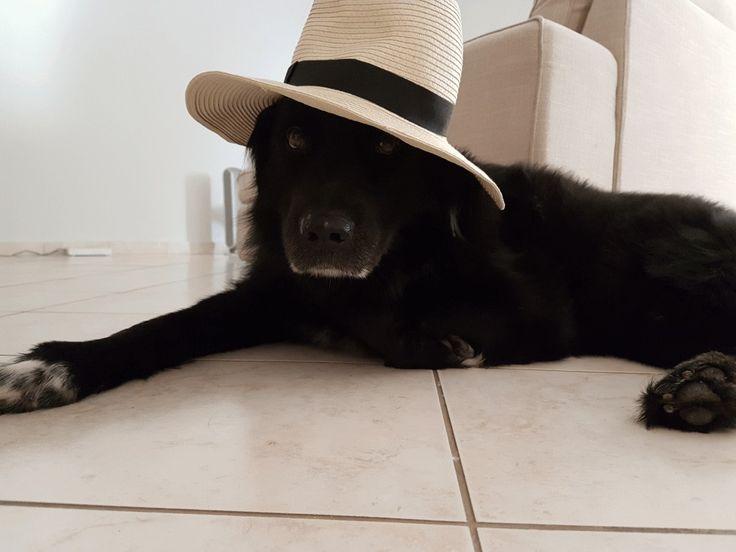 Agori mou ❤️ border collie Labrador mix