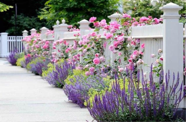 Perennial Combinations, Plant Combinations, Summer Borders, Hedges ideas, Fence ideas, Plant combination ideas, Borders ideas, Perennial combinations, David austin Rose Gertrude Jekyll, Salvia sylvestris, Salvia Mainacht, Salvia May Night, alchemilla moll