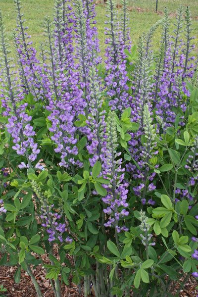 Baptisia 'Blue Towers', Drought-tolerant, strong upright form, deep indigo blue flowers, butterfly magnet.
