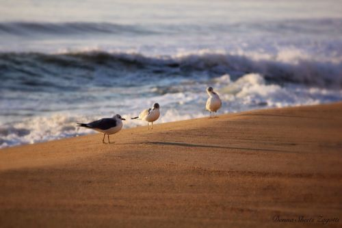 Photographic Print 4 X 6 Seagulls Ocean City Maryland Beach Nature Waves OCMD