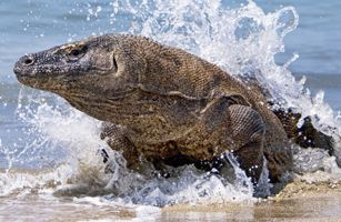 Komodo Adventure Tours Indonesia. See the legendary on habitat #komodoadventure #komodotours