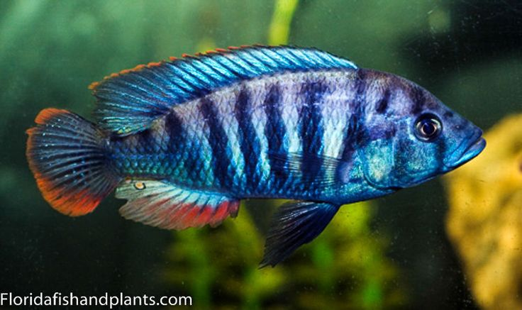 "MALE Pundamilia sp. ""blue bar"" 1.5 Inch  African Cichlid Victorian Haplochromide | Pet Supplies, Fish & Aquariums, Live Fish | eBay!"