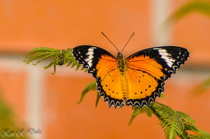 """Der """"Leoparden – Netzflügler"""" stammt aus dem Indo – Australischen Raum. The Leopard Lacewing (Cethosia cyane) is a species of heliconiine butterfly found from India to southern China (southern Yunnan), and Indochina. including Singapore, is relatively recent. <a href=""""http://en.wikipedia.org/wiki/Cethosia_cyane"""" rel=""""nofollow"""">en.wikipedia.org/wiki/Cethosia_cyane</a> Photo by Kenneth Raymond Duke"""