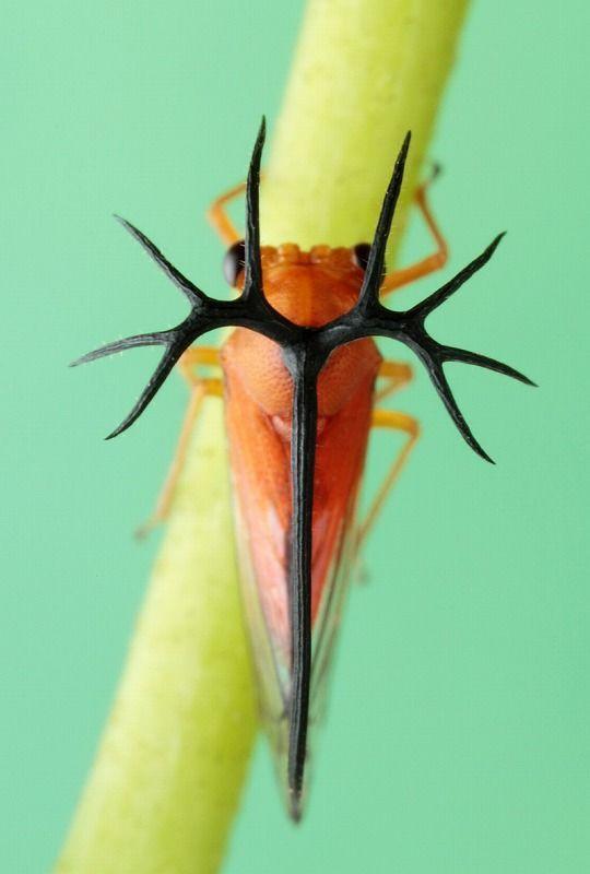 Unberigerusu género tipo de (Hemiptera: Treehopper) Umbelligerus sp.