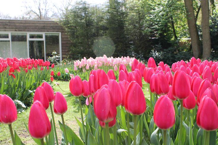 Roze tulpen @ Keukenhof