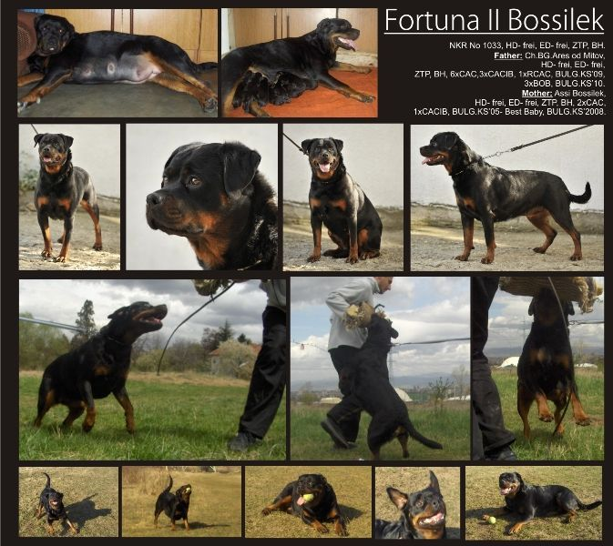 Rottweiler kennel Bossilek