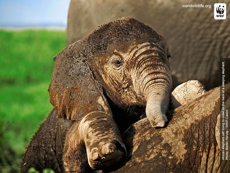Playing In The Fall Wallpaper World Wildlife Fund I Love Elephants Baby Elephant