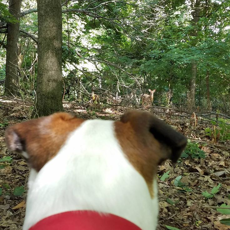 Happy saw a deer for the first time yesterday!! * Follower count: 135 * * * #sarge #sargehere #dog #dogs #pup #puppy #puppies #paws #paw #pit #pitbull #pitbullmix #pitmix #boxer #boxermix #theme #zen_animals #pets_of_our_world #dailypawprints #petportal #scppfeatures #thedodo #happy #happyhere #outside #sunset #pond http://butimag.com/ipost/1555302778028751984/?code=BWVi6LilPxw