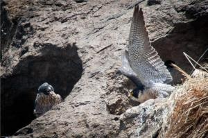 Flame Retardants Detected in Peregrine Falcon Eggs