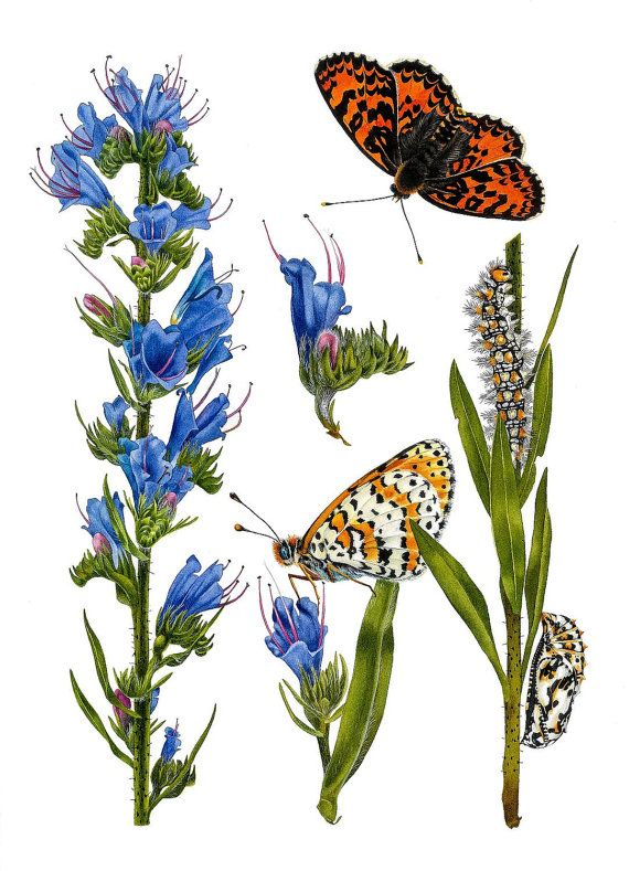 Echium Vulgare and Melitaea Didyma Giclee Art Print by Esperoart