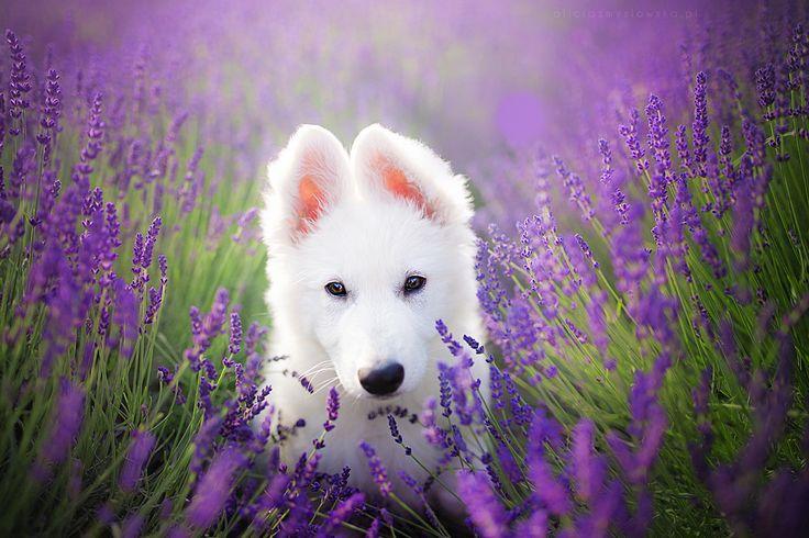 https://flic.kr/p/Jh2tSk | Little Ira | White Swiss Shepherd Puppy
