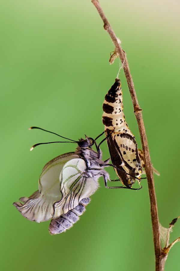 metamorphosis .............................. (The butterfly has just emerged from the chrysalis)